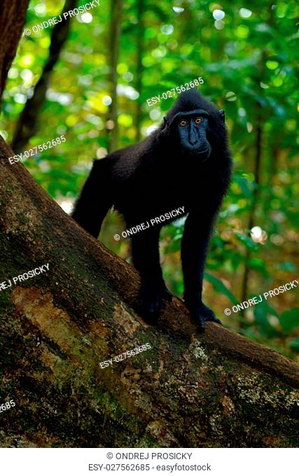 Black monkey with open mouth with big tooth, sitting