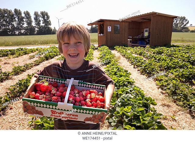 """Boy is picking strawberries in a strawberry field. On basket is written: Erdbeeren frisch gepflückt""""""""- strawberries picked fresh"""