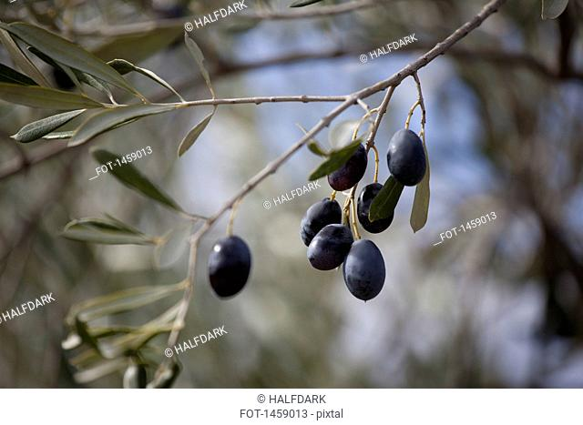 Black olives hanging on tree