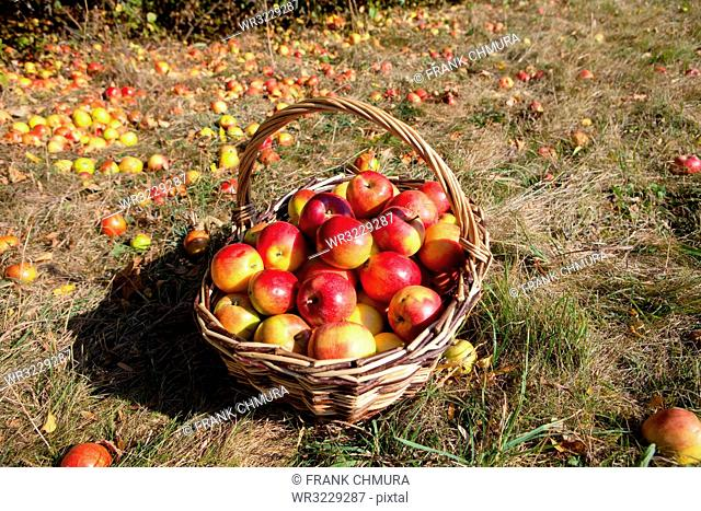 Basket of Red Apples in the Basket in Autumn