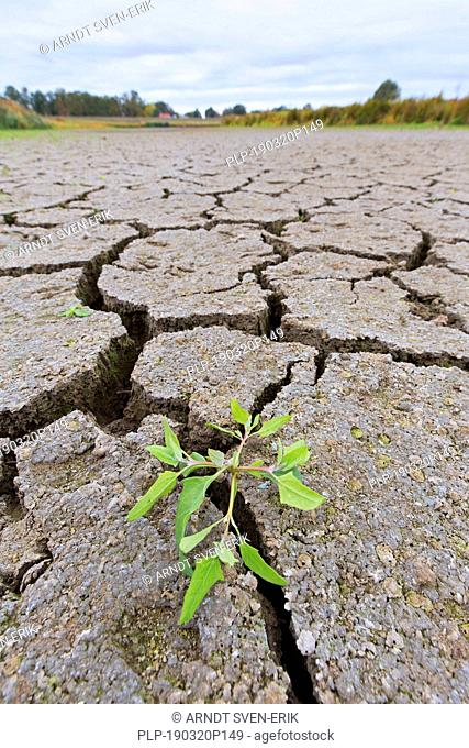 New shoot of plant in dry cracked clay mud in dried up lake bed / riverbed caused by prolonged drought in summer in hot weather temperatures