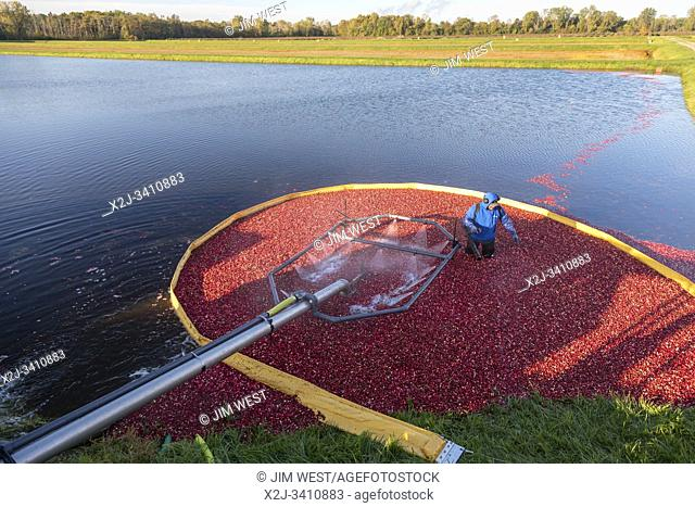 South Haven, Michigan - Workers harvest cranberries at DeGRandchamp Farms. The cranberry bog is flooded allowing the floating fruit to be collected