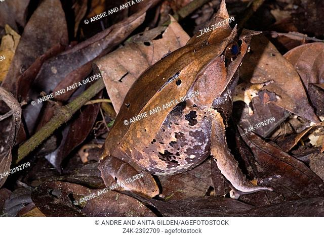 Borneo Horned Frog (Megophrys nasuta) sitting camouflaged in leaves, Danum valley, Borneo