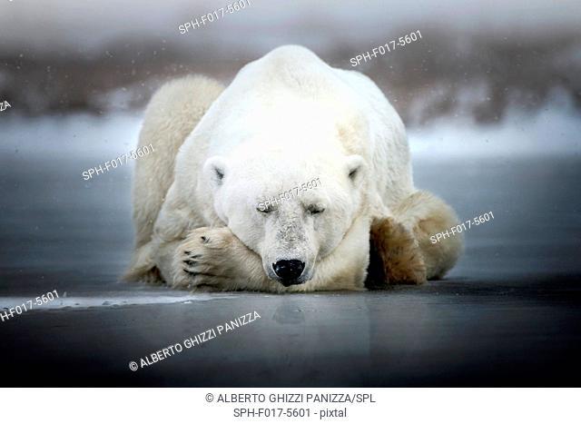 Polar bear sleeping on the ice. Churchill, Canada