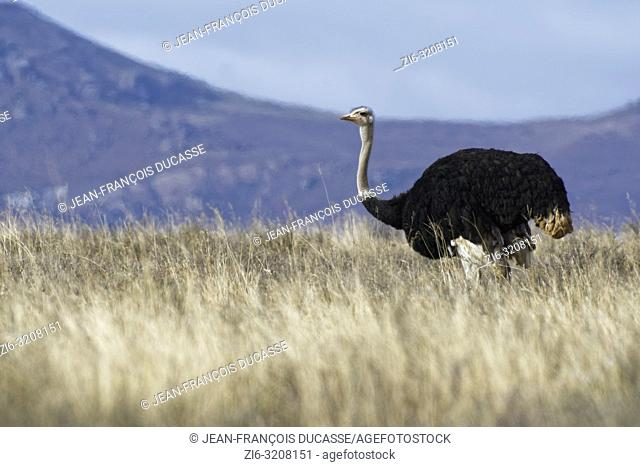 South African ostrich (Struthio camelus australis), adult male, in open grassland, foraging, Mountain Zebra National Park, Eastern Cape, South Africa, Africa