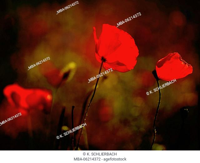 Germany, Hesse, Nature Park Lahn-Dill-Bergland (mountain landscape), flowers of field poppy (Papaver rhoeas), Backlight