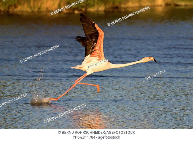 Greater flamingo (Phoenicopterus roseus), adult starting to fly over water, Camargue, Bouches-du-Rhône, Provence, France