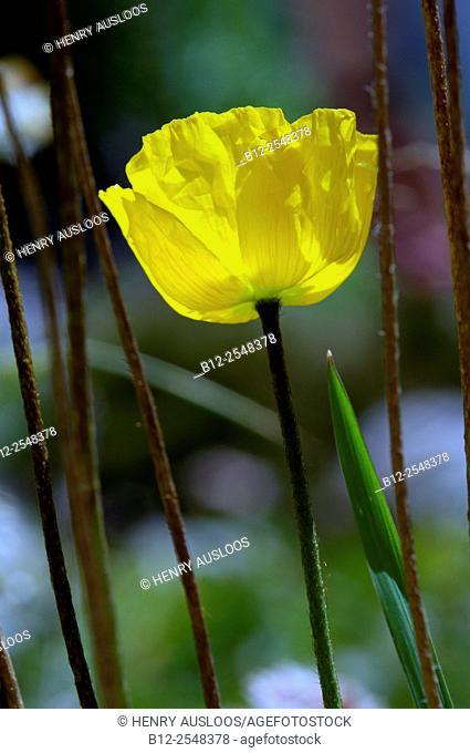Arctic Poppy, Alps (Papaver radicatum), France