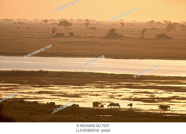 Silhouette of Buffalo Syncerus caffer Herd in the Chobe River at Sunset  Chobe River, Chobe National Park, Botswana