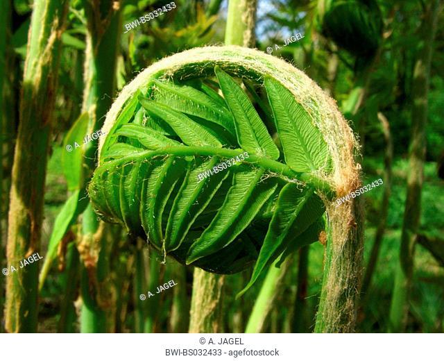royal fern (Osmunda regalis), tip of the frond, inrolled, Germany, North Rhine-Westphalia