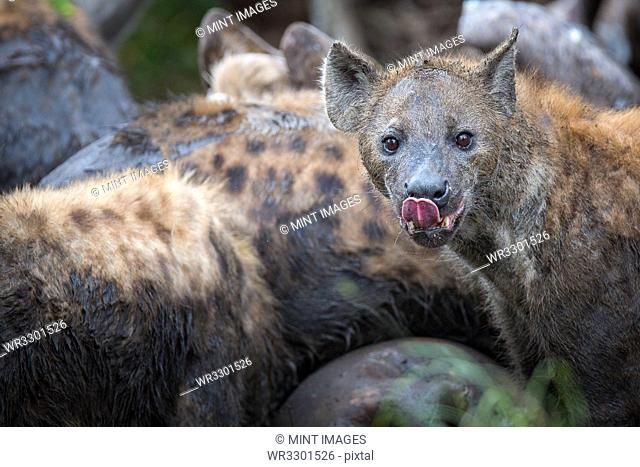 A clan of spotted hyenas covered in mud, Crocuta crocuta, eat from a carcass, direct gaze, tongue out