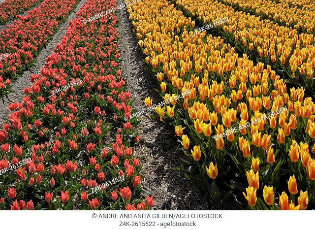 A tulipfield with two different kind of tulips next to each other, North Holland, Netherlands