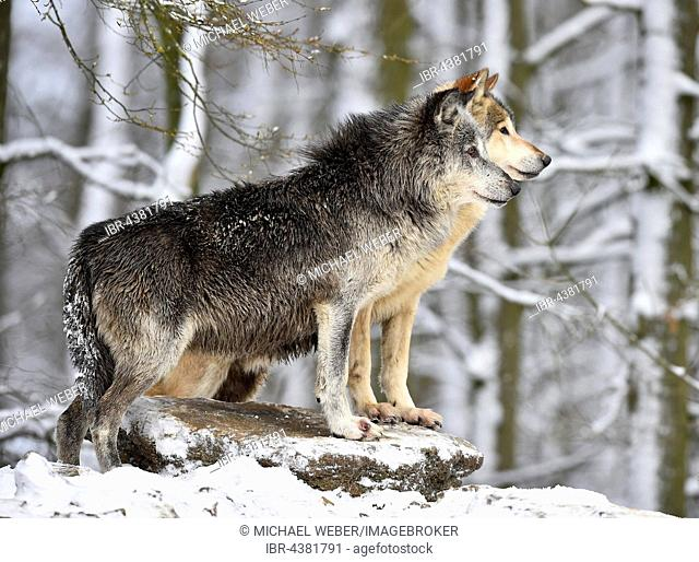Male and female alpha wolf, alpha wolf, Eastern Wolf, Eastern timber wolf (Canis lupus lycaon) in winter, look out, captive, Baden-Württemberg, Germany