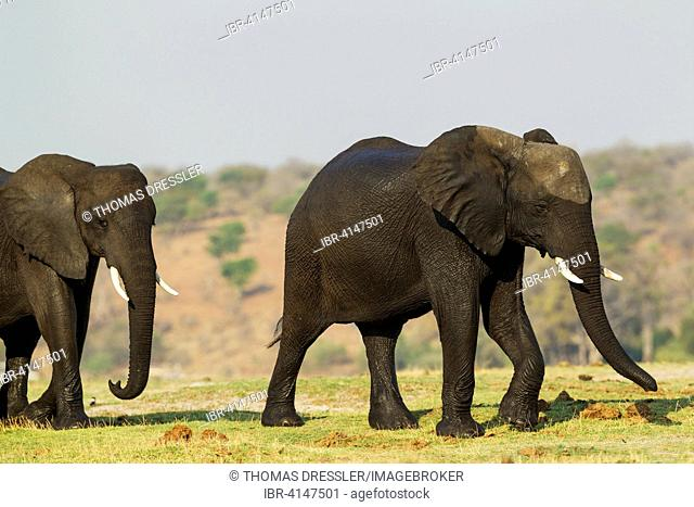 African Elephant (Loxodonta africana), two females with wet skins have been crossing the Chobe River, Chobe National Park, Botswana