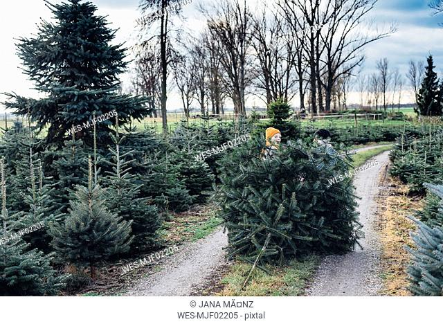 Brother and sister choosing Christmas tree on a farm, pulling it home