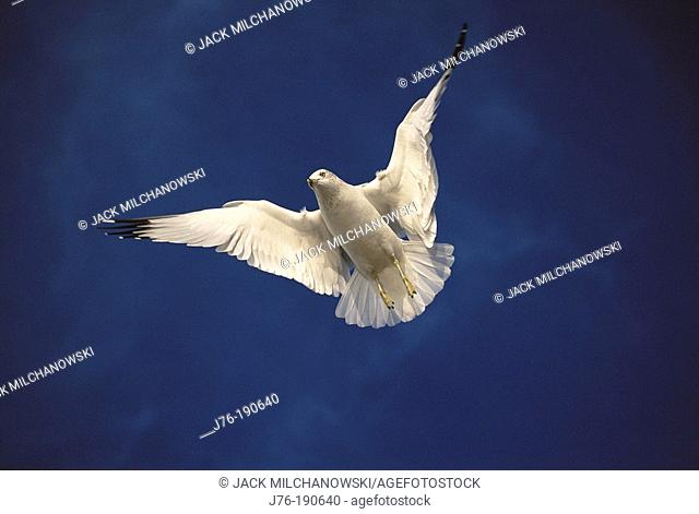 Ring-Billed Gull (Larus delawarensis). California. USA