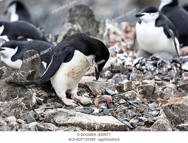 A Chinstrap penguin (Pygoscelis antarcticus) mourns it's newly hatched baby killed by a Snowy Sheethbill at Half Moon Island