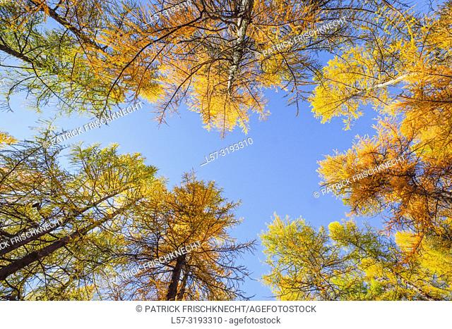 larch trees, Larix, Switzerland