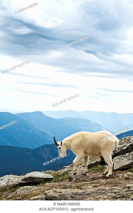 Storm clouds clearing in the background as the Mountain Goat searches for a next spot to graze