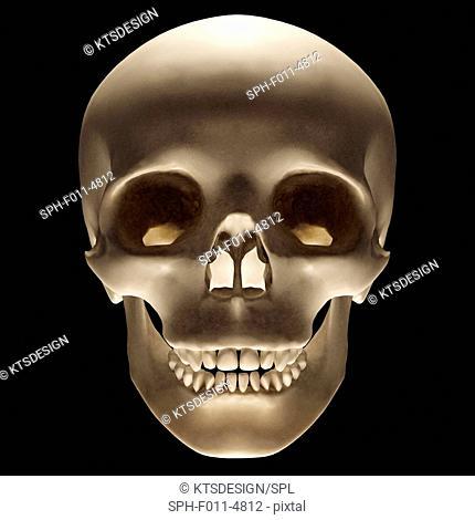 Human skull, computer illustration