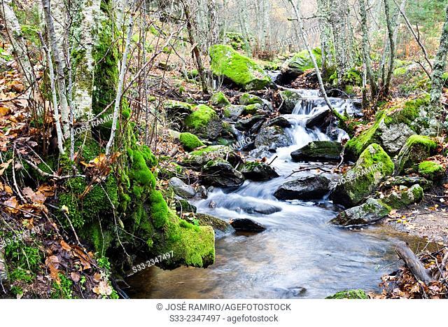 Sestil stream in Canencia birch. Sierra de la Morcuera. Madrid. Spain