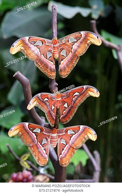 Giant Atlas moth Attacus atlas