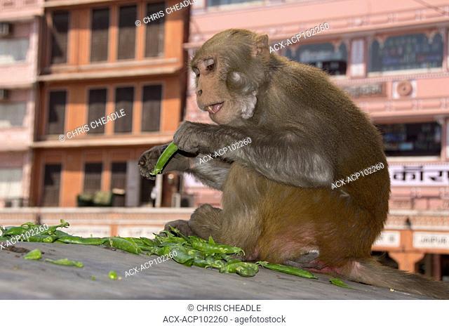 rhesus macaque (Macaca mulatta) In the Pink City, Jaipur, Rajastan, India