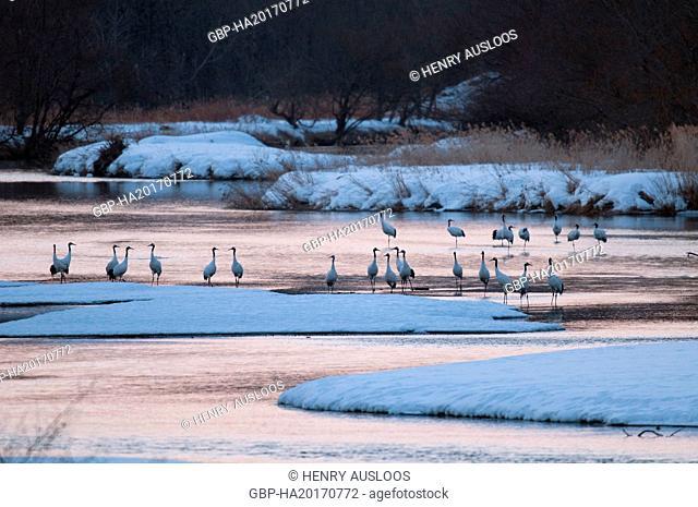 Manchuria Crane, Japanese Crane, Grus japonensis (Grue du Japon) 2017