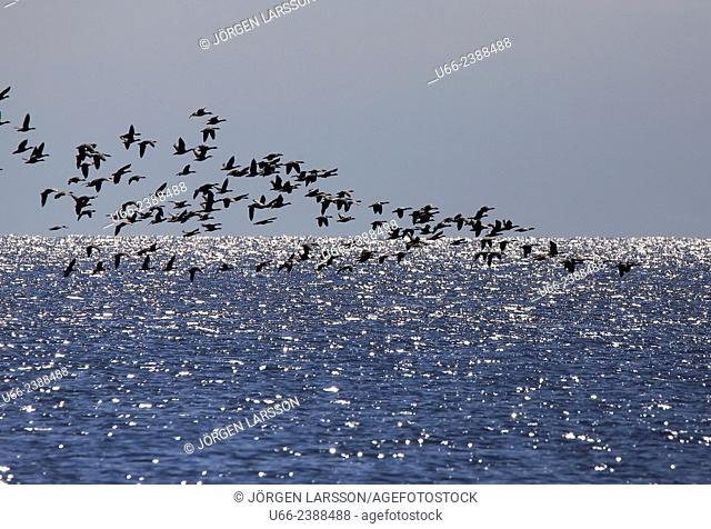 Greylag Goose, Anser anser, Öland, Sweden