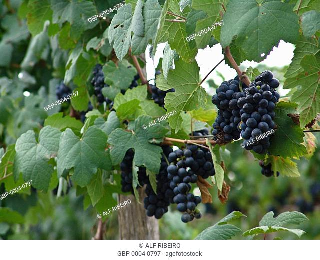 Bunches grapes, irrigated, production, wine, township, Lagoa Grande, Pernambuco, Brazil