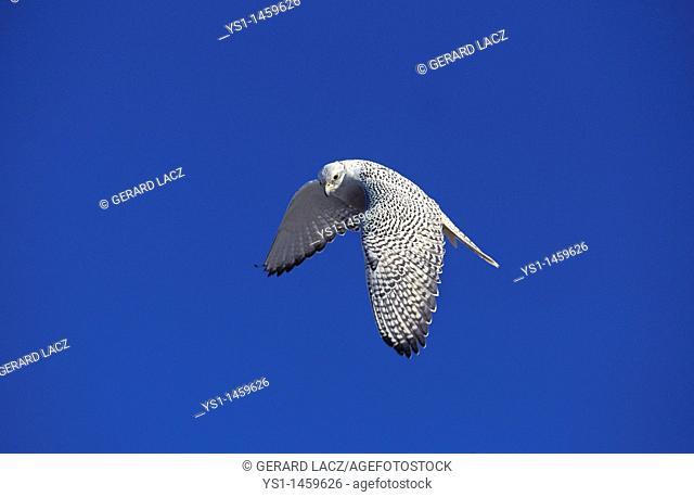 GYRFALCON falco rusticolus, ADULT IN FLIGHT, CANADA