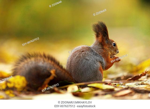 squirrel in autumn forest macro close up