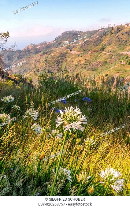 levada hiking along mountain villages with terraces fields in the east madeira - levada dos tornos camacha with typical flowers agapanthus - aeonium
