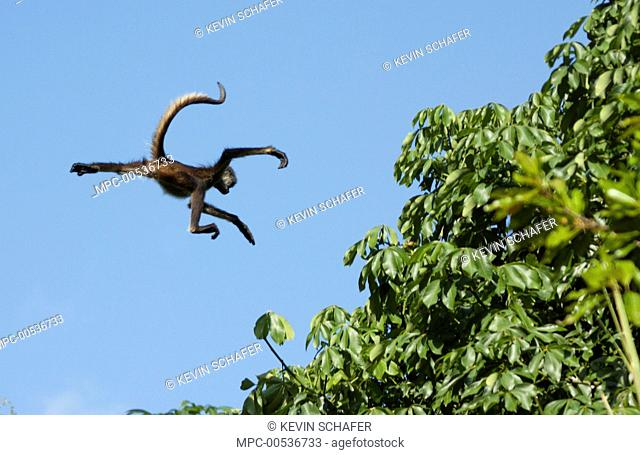Yucatan Spider Monkey (Ateles geoffroyi yucatanensis) jumping to another tree, Yucatan Peninsula, Mexico