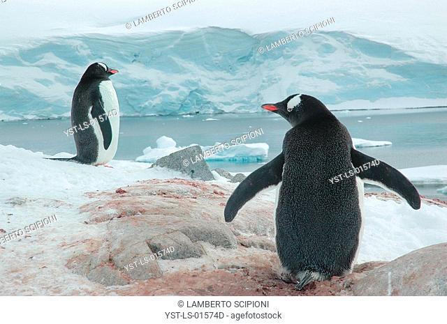 Penguin, Iceberg, Glacier, Polar Desert, Lemaire, Antarctica