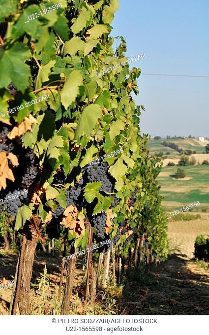 Verucchio (Rimini, Italy): vineyards