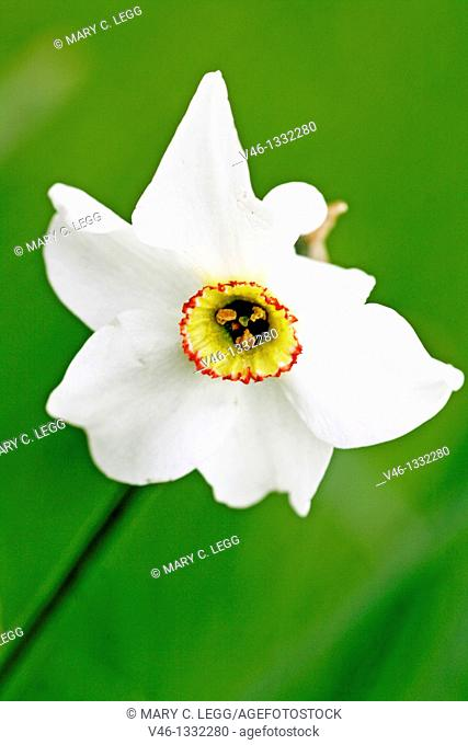 Narcissus against green background  Narcissus with a yellow corona  Corona has small red ring about the edge  Early spring flower  Decorative garden plant with...