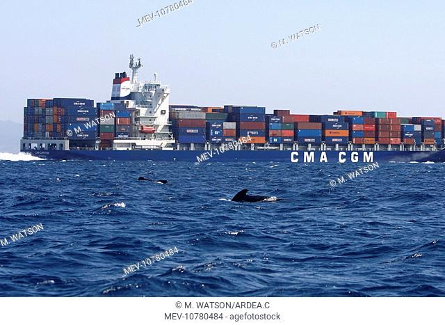 Pilot Whales - with cargo ship behind (globicephala melas)