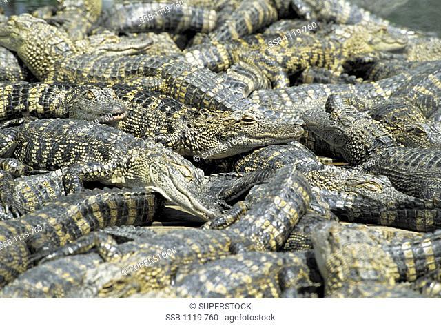 Alligators Everglades National Park Florida USA