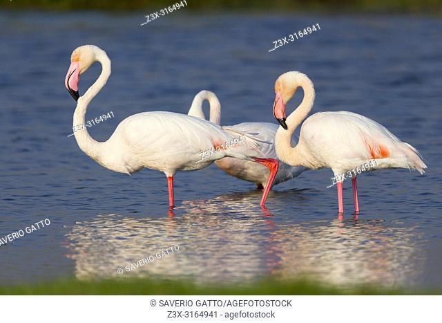 Greater Flamingo (Phoenicopterus roseus), Adults standing in the water, Salalah, Dhofar, Oman