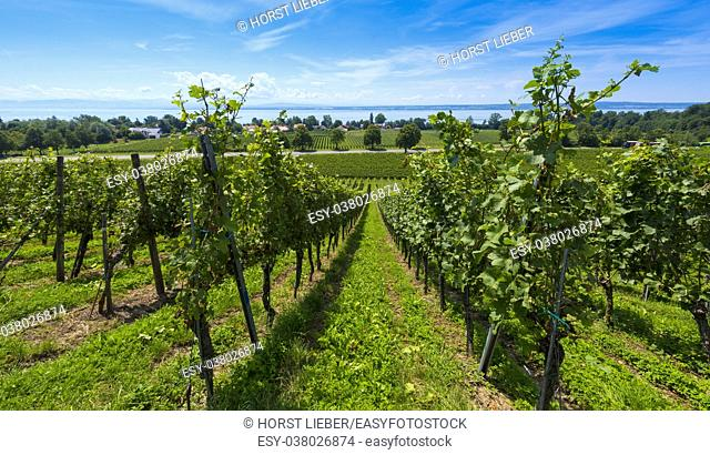 The vineyards near Immenstaad atLake Constance - Immenstaad, Lake Constance, Baden-Wuerttemberg, Germany, Europe