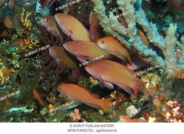Lyretail Anthias, Pseudanthias squamipinnis, Alor, Lesser Sunda Islands, Indo-Pacific, Indonesia