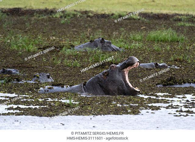 Hippopotamus (Hippopotamus amphibius), Khwai concession, Okavango delta, Botswana