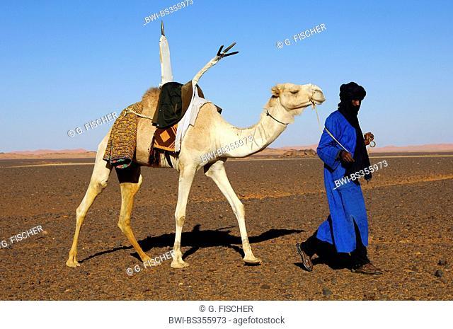 dromedary, one-humped camel (Camelus dromedarius), Tuareg nomad with his white Mehari dromedary crossing a Hamada desert landscape, Libya, Sahara