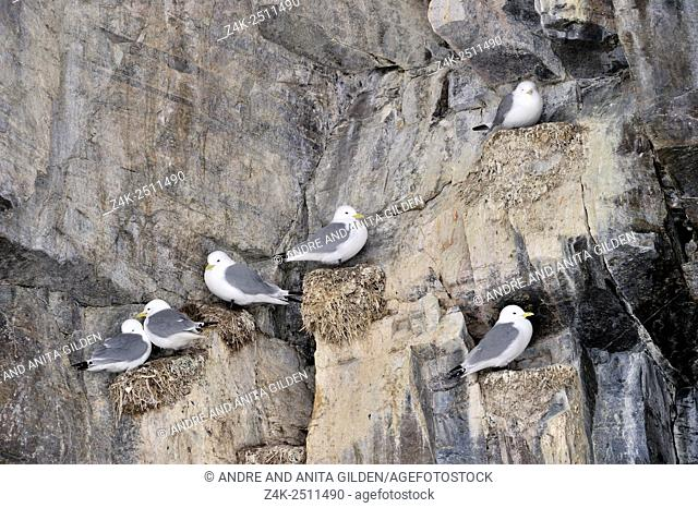 Black-legged kittiwakes (Rissa tridactyla) nesting colony on cliff, Bylot island, Baffin bay, Nunavut, Canada