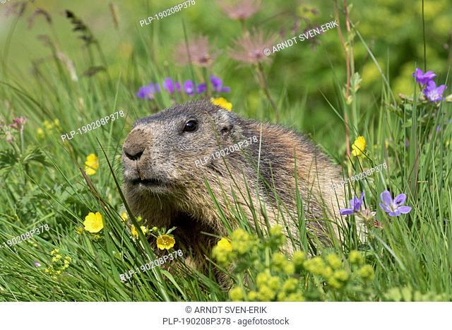 Alpine marmot (Marmota marmota) foraging among wildflowers in Alpine pasture in summer, Hohe Tauern National Park, Carinthia, Austria