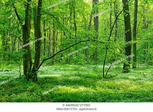 Close-to-nature deciduous forest in the spring, early flowering plants cover the ground, near Freyburg, Saxony-Anhalt, Germany