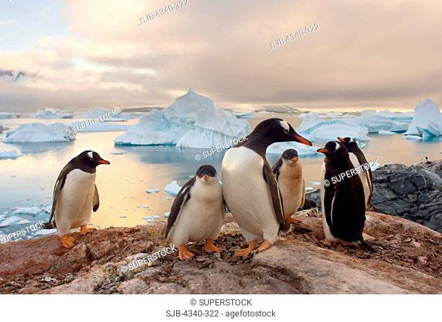 Gentoo Penguin Adults and Chicks