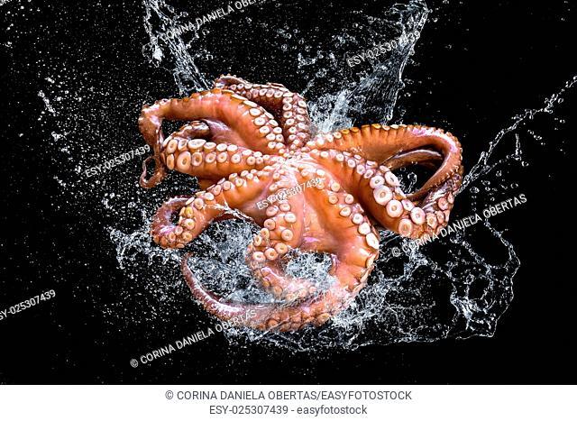 Fresh octopus in water splash on black background