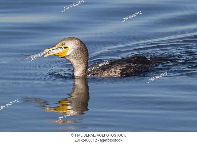 Double-Crested Cormorant swallows a fish. USA